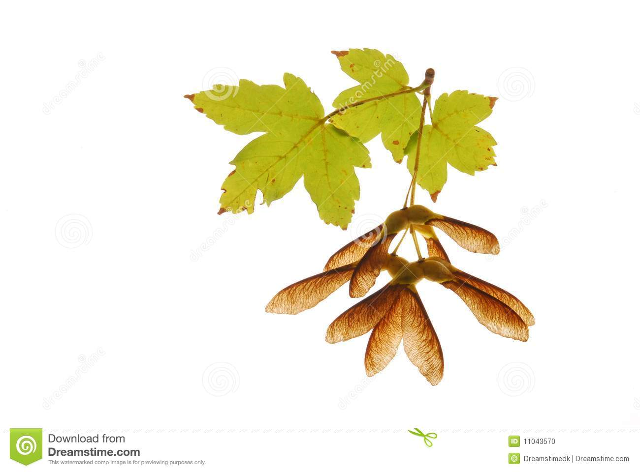 Gallery For > Maple Leaf Seed Clipart.