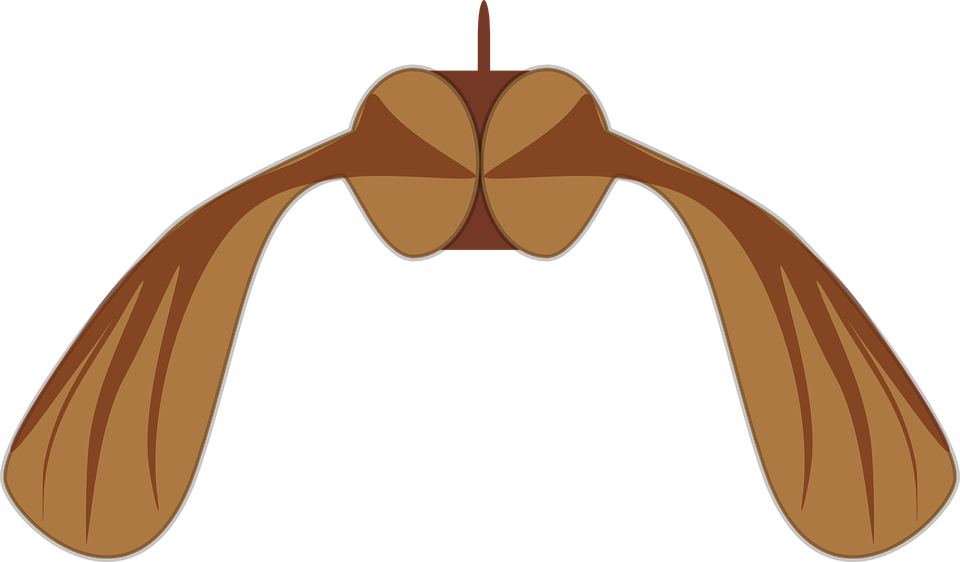Free vector graphic: Maple, Seed, Biology, Helicopter.