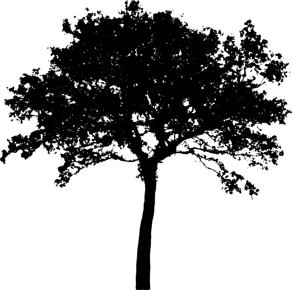 silhouette tree maple.