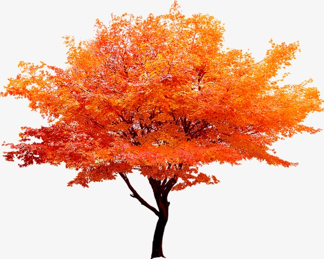 Red Maple Tree, Tree Clipart, Red, Maple Leaf PNG Image and.