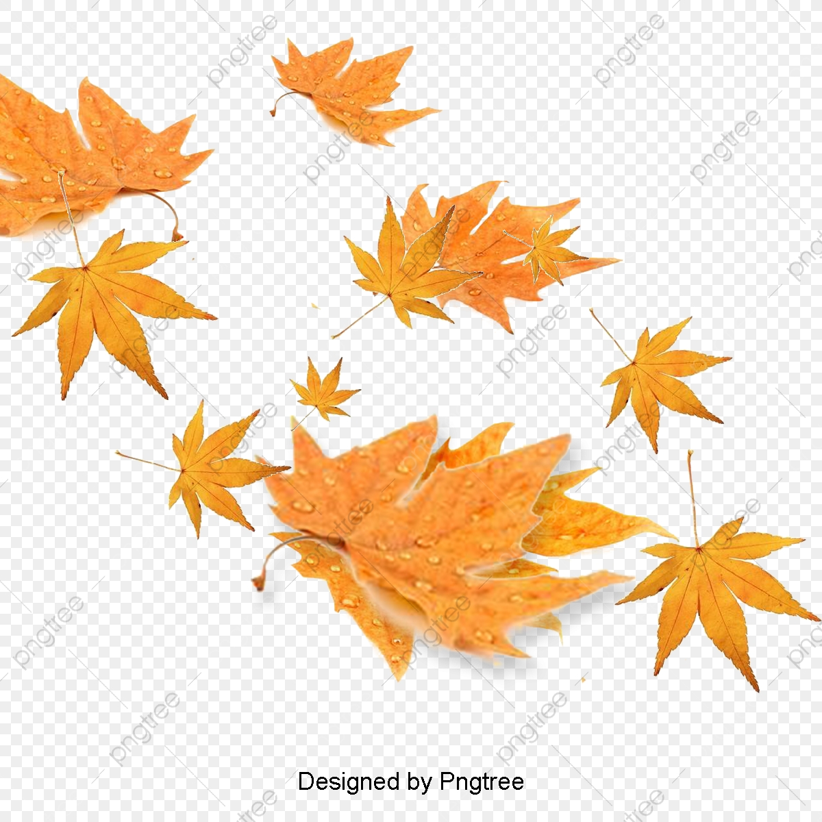 Maple, Fall, Leaves, Red Leaves PNG Transparent Clipart.