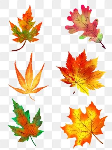 Maple Leaf PNG Images.