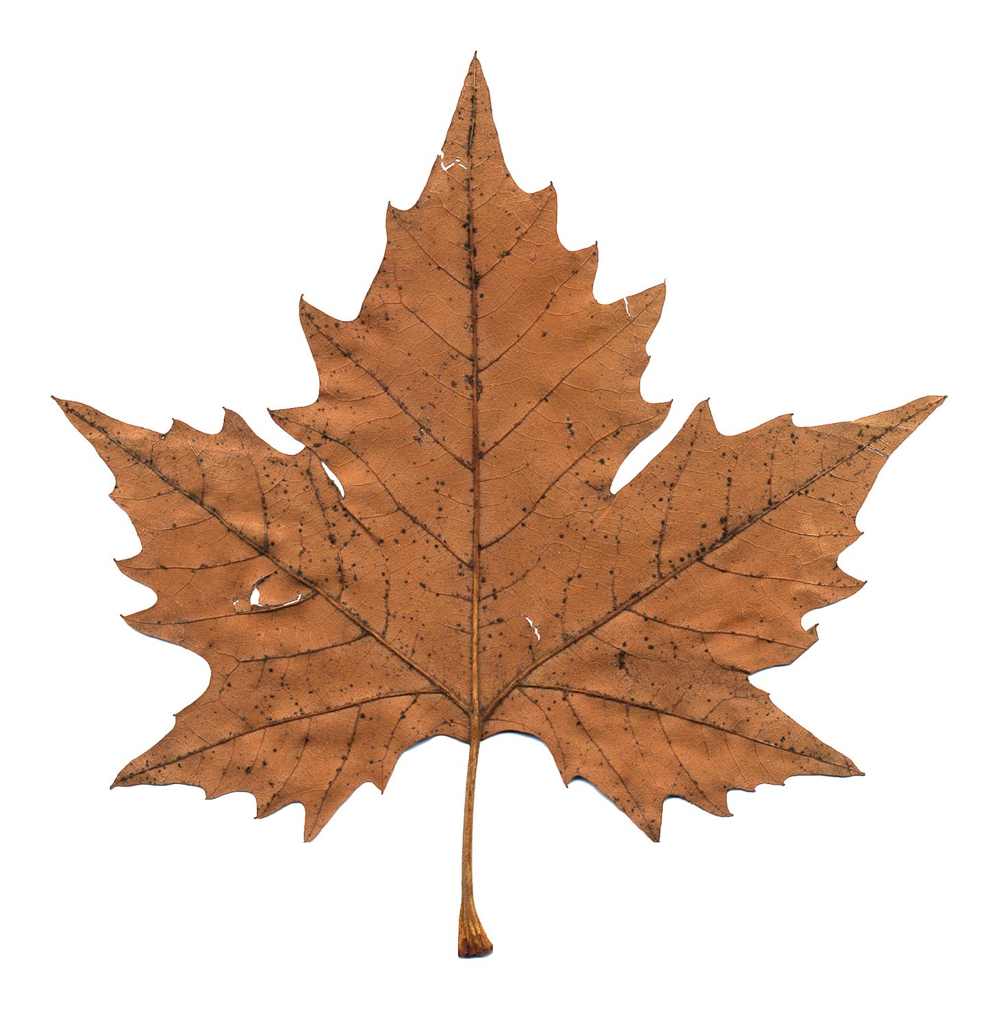 Maple Leaf PNG Image.