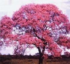 Maquilishuat. National tree of El Salvador.