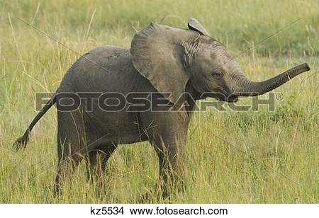 Stock Photo of baby elephant calf standing in grass with trunk up.