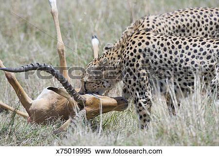 Stock Image of Cheetah (Acinonyx jubatus) incapacitating gazelle.