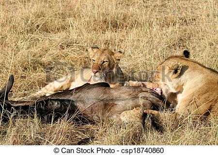 Stock Image of Animals Hunting, Safari Animals, Uganda, Tanzania.