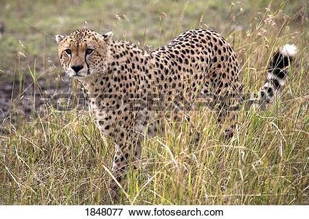 Picture of Cheetah (Acinonyx jubatus), Masai Mara National Reserve.