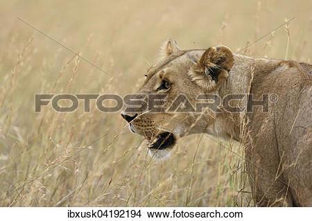 Stock Photo of Lioness (Panthera leo) in tall grass, Maasai Mara.