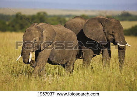 Picture of pair of african elephants grazing in the long grass.