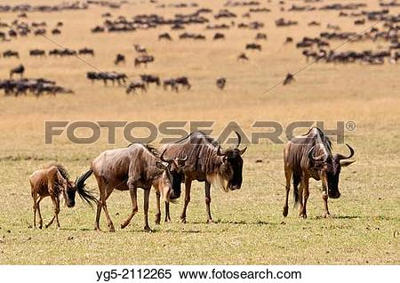 Stock Image of Group of blue wildebeests (Connochaetes taurinus.