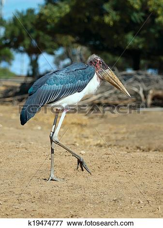 Picture of Marabou Stork k19474777.