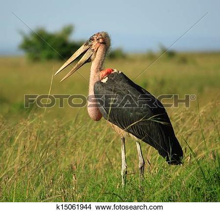 Stock Photo of Marabou stork k15061944.