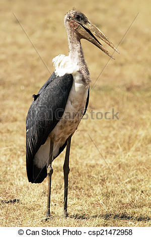Stock Images of Masai Mara Marabou Stork.