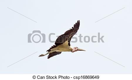 Stock Photo of Marabou Stork in flight.