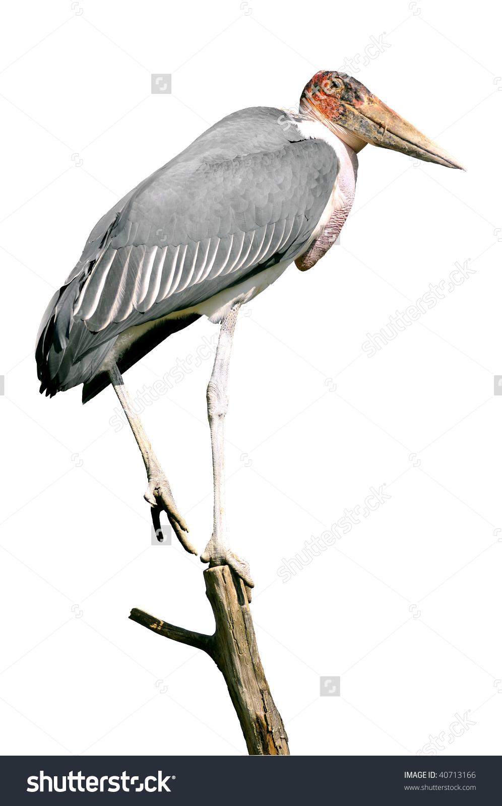 Marabou Stork (Leptoptilos Crumeniferus) Balancing On A Branch.