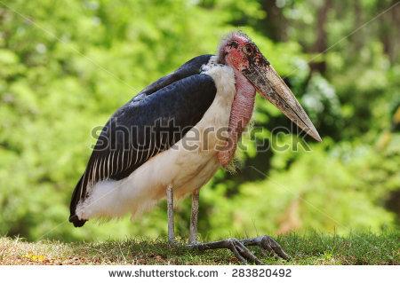 Marabou Stork Stock Photos, Royalty.