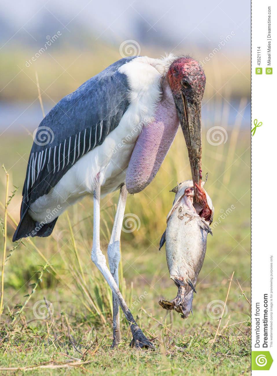Marabou Stork With Huge Catfish In Beak Stock Photo.