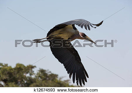 Stock Photo of Marabou Stork in flight k12674593.