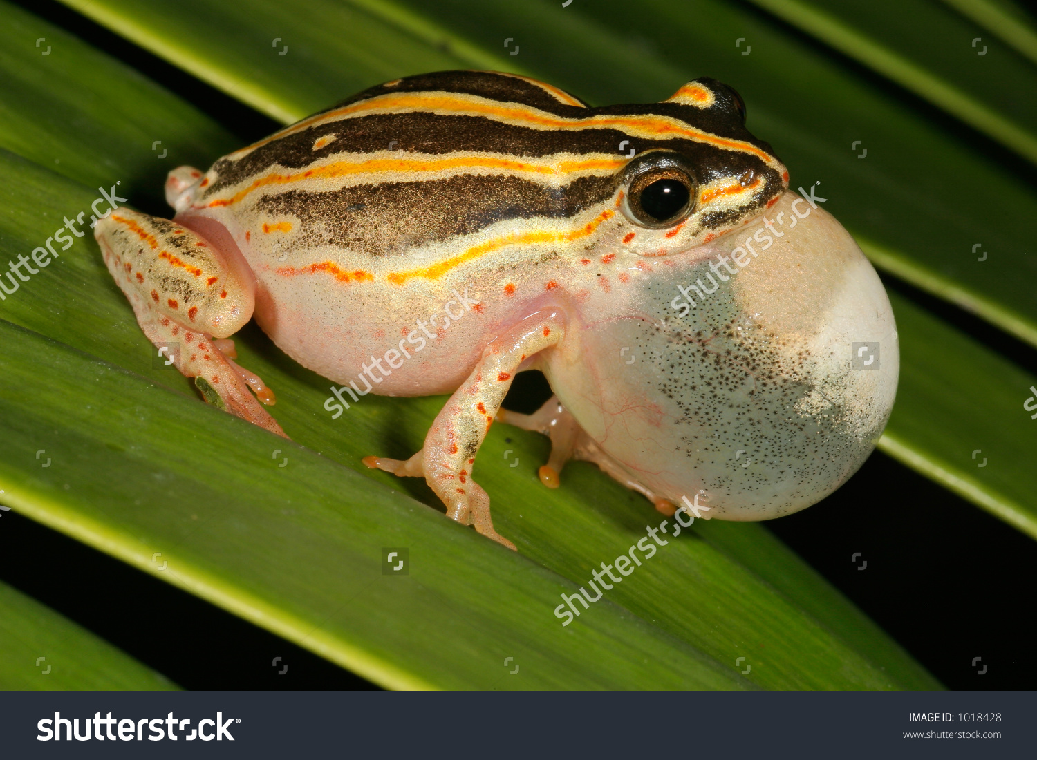 Male Painted Reed Frog Hyperolius Marmoratus Stock Photo 1018428.