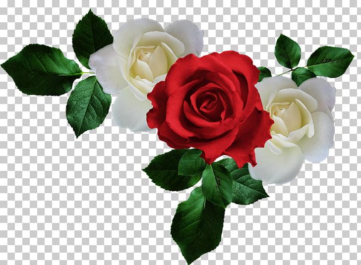 Jardín rosas guerras del marco rosas, rosa PNG Clipart.