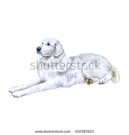 Watercolor Closeup Portrait Of Maremma Sheepdog Breed Dog Isolated.