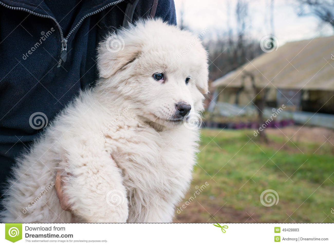 Maremma Sheepdog Puppy Stock Photo.