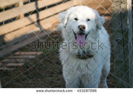 Maremma Sheepdog Banco de imágenes. Fotos y vectores libres de.