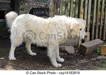 Stock Photography of Maremma sheep dog.