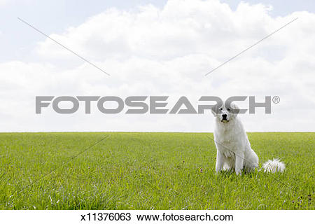 Stock Photo of Maremma sheepdog x11376063.