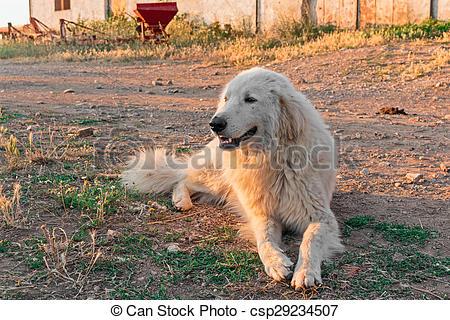 Maremma sheepdog clipart.