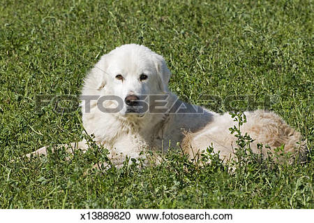 Stock Photography of Maremma sheepdog x13889820.