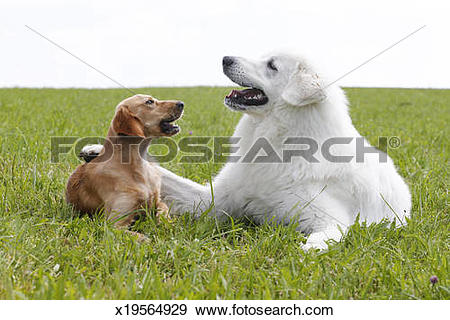 Stock Photograph of Maremma sheepdog x19564929.