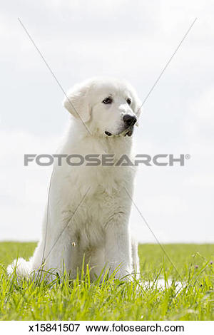 Picture of Maremma sheepdog x15841507.