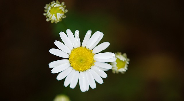 Free pictures DAISY.