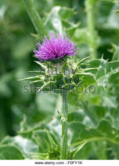 Silybum Seeds Stock Photos & Silybum Seeds Stock Images.