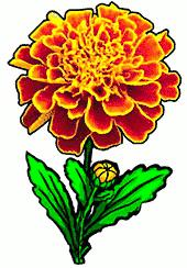 Free Marigold Clipart.