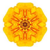 Marigold Illustrations and Clip Art. 444 marigold royalty free.