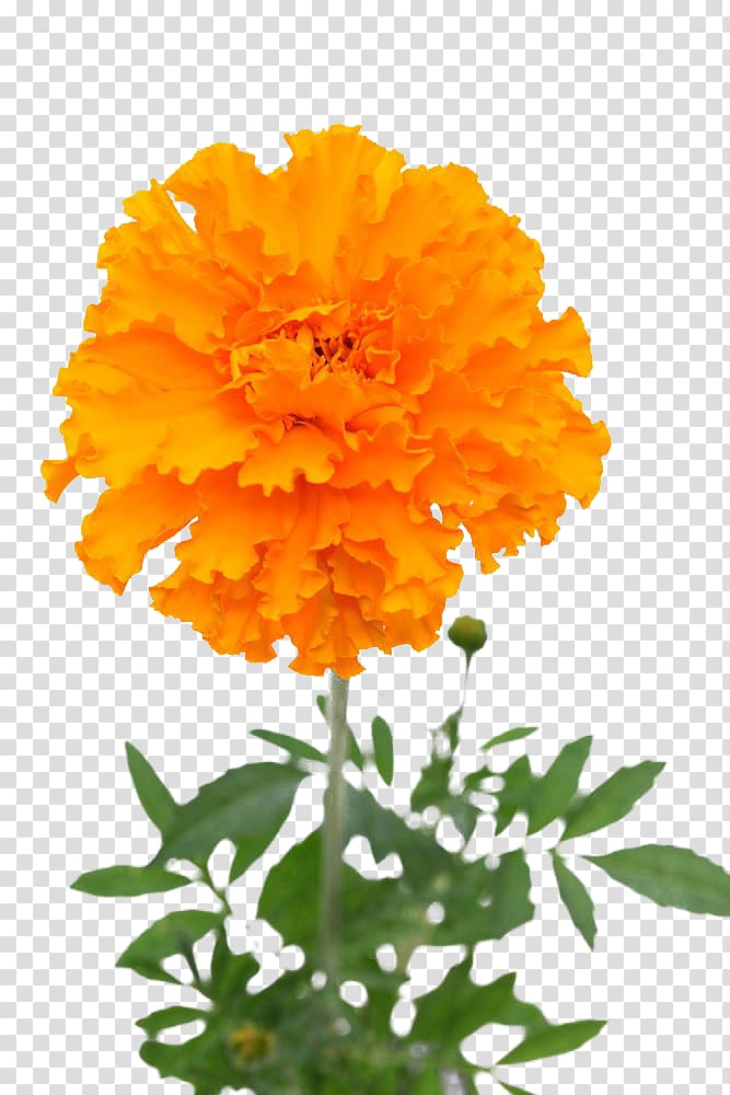 Mexican marigold Flower.