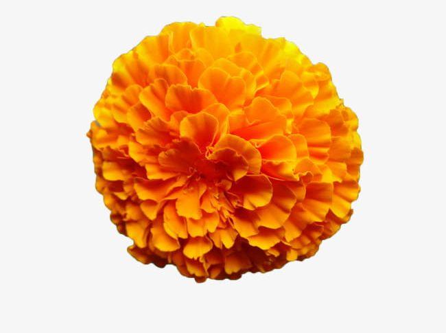 Marigold Flower PNG, Clipart, Chrysanthemum, Flower Clipart.