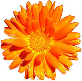 Marigold flowers clipart.