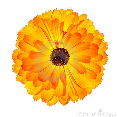 Marigold flower clipart.