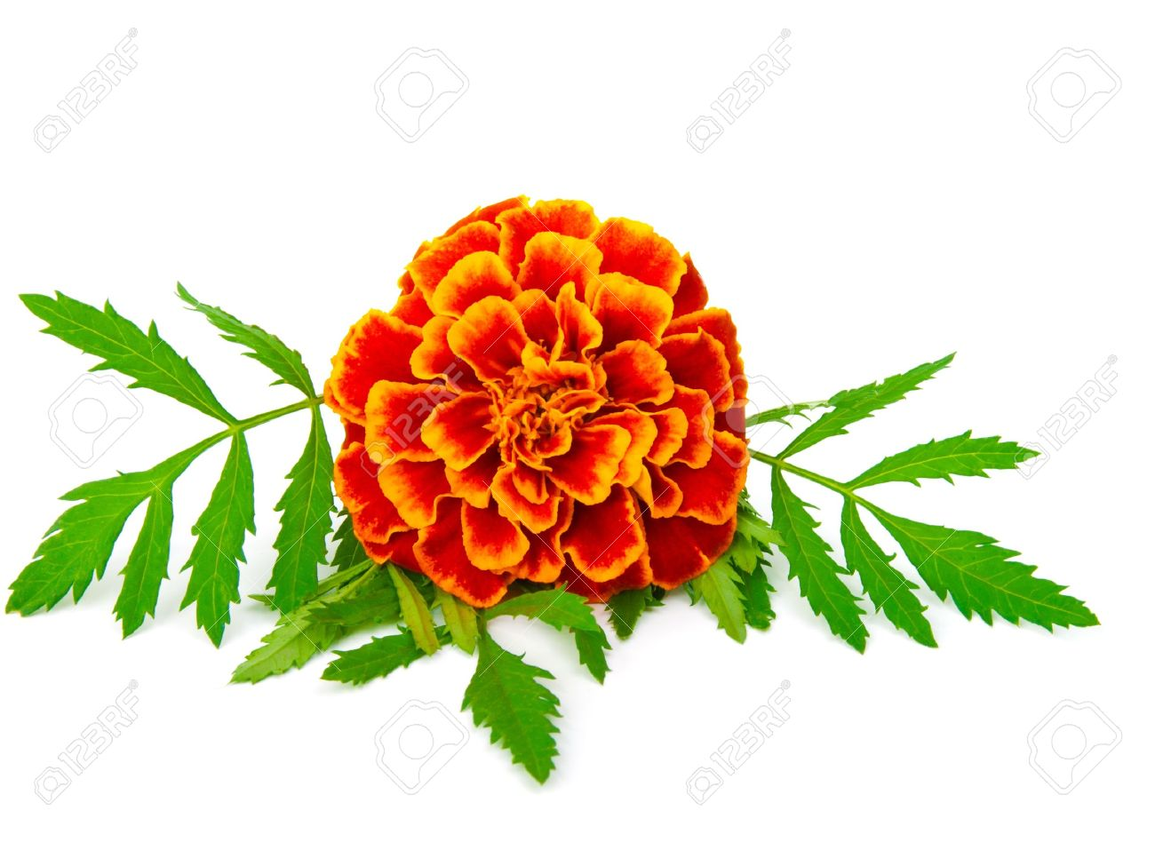 Red Marigold (Tagetes) Isolated On White Stock Photo, Picture And.