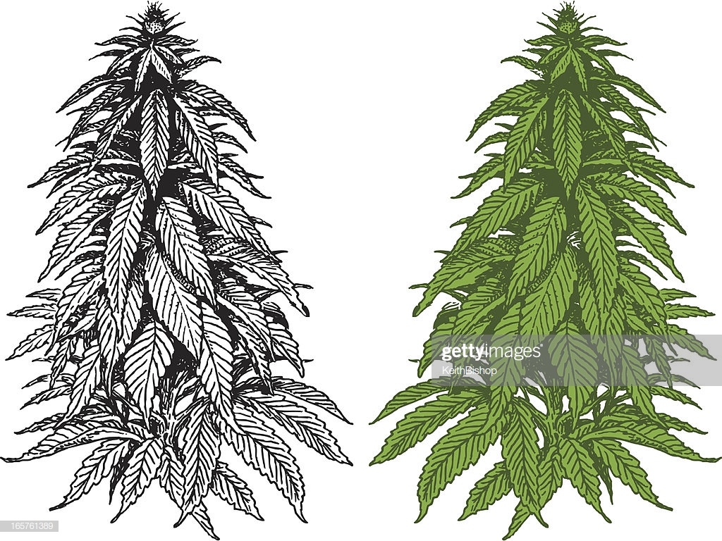 60 Top Cannabis Plant Stock Illustrations, Clip art.