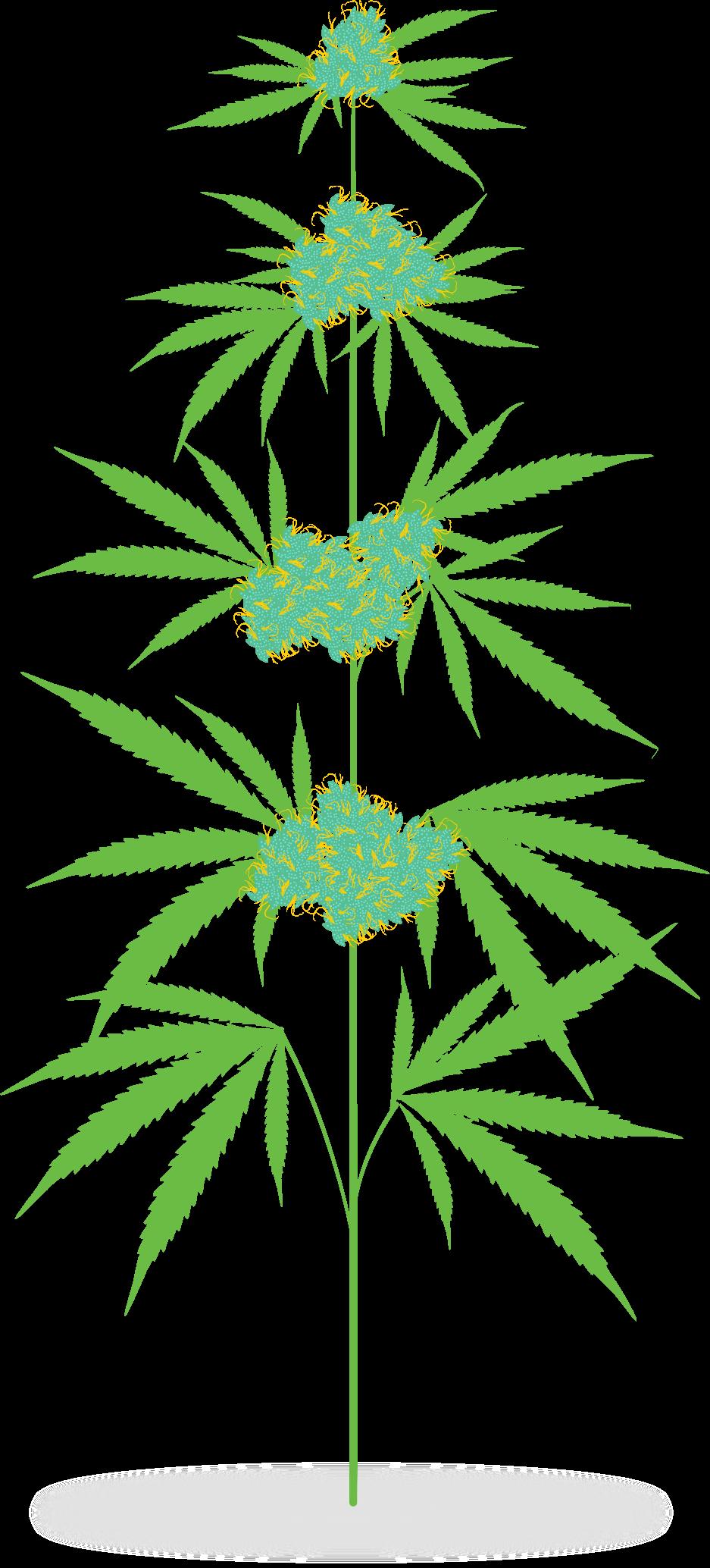 Marijuana plant clipart 1 » Clipart Station.