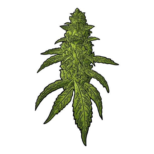 Marijuana plant clipart 4 » Clipart Station.