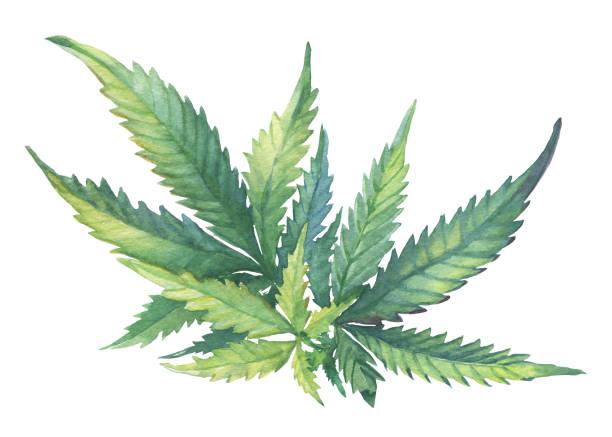 Best Cannabis Plant Illustrations, Royalty.