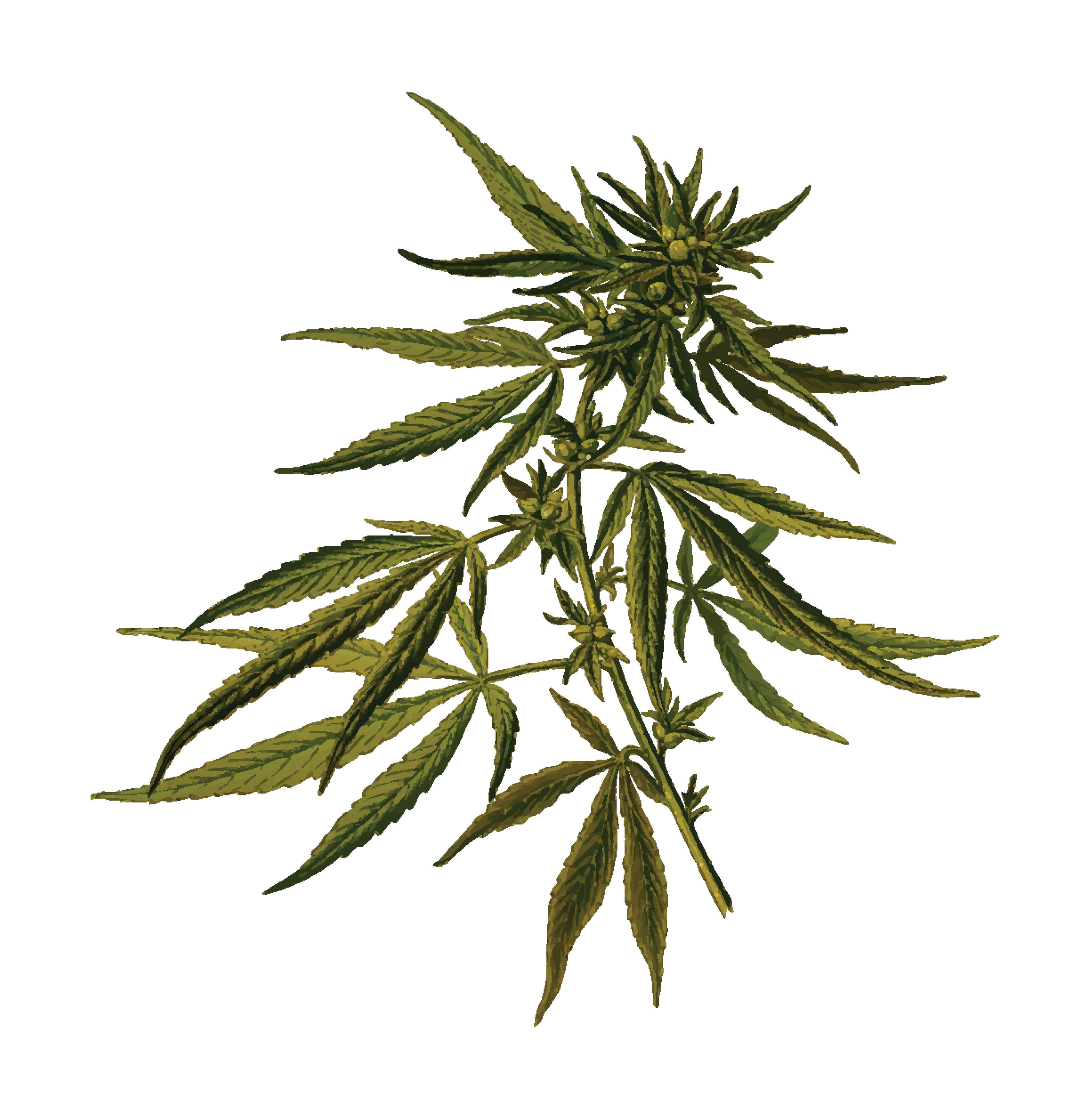 Free Clipart Of A cannabis plant.
