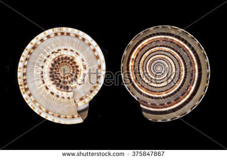Marine Gastropod Mollusk Stock Photos, Royalty.