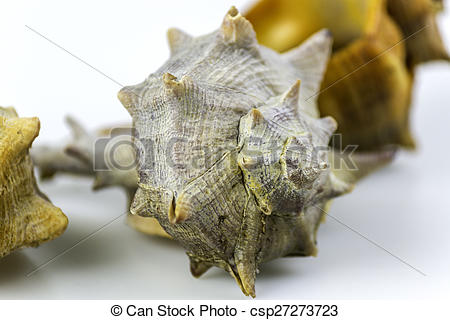 Stock Photo of Bolinus brandaris, an edible marine gastropod.